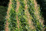 Straight lines of fresh green corn in local cornfield on warm sunny summer day - 236248313