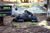 A gorilla sleeping having a rest in a zoo.