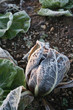 Frost on italian radicchio cultivation in winter. Salad plant in the winter garden at sunset