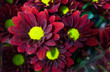 Red mum flowers have green pollen in vase at flower market,beautiful background,for worship holy object and celebration,chrysanthemum