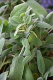 Sage medicinal herbs - 236287134