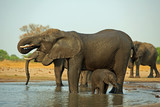 Family Herd of Elephants drinking at a waterhole.  Matriarch has trunk curled into her mouth and small calf satnding close by while wallowing in the water.  Hwange National Park, Zimbabwe