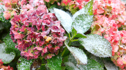 Pink Hortensia flowers in the snowfall. Winter background.