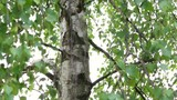 Brzoza na wietrze drzewo latem rosnące w parku lesie ogrodzie wiejska okolica - 236310718