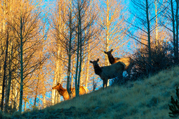 Elk Herd in the Rockies