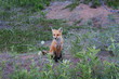 Wild red fox sitting among the grass