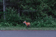 Wild red fox at the road near the forest