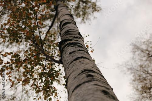 Betulla ripresa dal basso con sfondo sfocato - 236343194