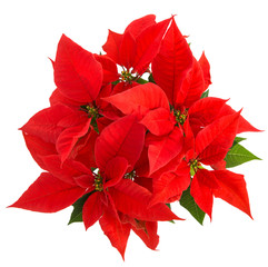 Christmas flower poinsettia white background Top view
