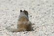 Rock Squirrel (Otospermophilus variegatus), Mather Overlook, Great Basin National Park, Nevada, USA
