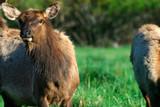 Roosevelt elk (Cervus canadensis roosevelti), Dolason Prairie, Elk Meadow Day Use Area, Redwood National Park, California, USA - 236383364