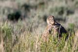 Uinta ground squirrel (Urocitellus armatus), National Elk Refuge, Wyoming, USA - 236385183
