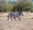 running zebras in the bush