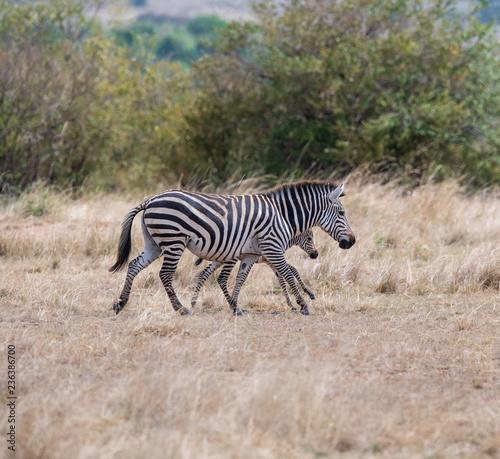 running zebras in the bush - 236386700
