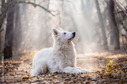 White Swiss Shepherd in the autumn forest - 236411902