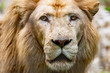 Lion head close-up
