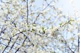 flowering of the cherry tree