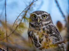"Постер, картина, фотообои ""Little owl (Athene noctua) sitting on tree. Blue sky in background. Little owl portrait. Owl sitting on branch. Owl on tree."""