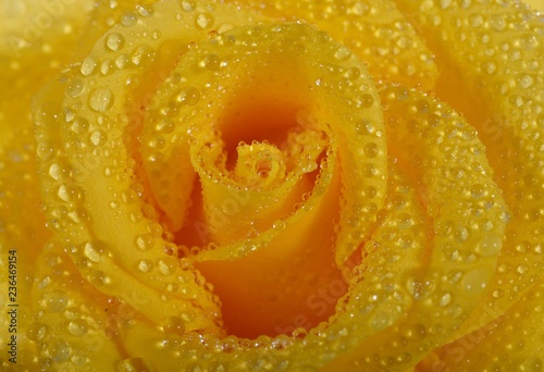 Bud of tea rose close up. Petals of a yellow flower covered with large drops of water - 236469154