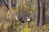 Bull Shiras Moose in the Fall Rut in Wyoming