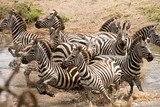 Zebras running from watering hole - 236479310