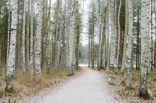Birch grove in winter. - 236483544