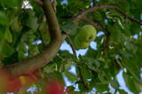 Green unripened common apples hanging on the tree during summer time