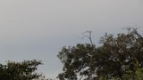 Hornbill couple take flight from a high perched vantage point on an overcast day in Sri Lanka - 236494582