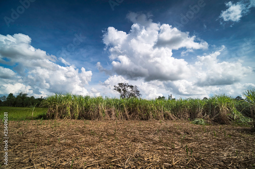 Krajobraz z pola trzciny cukrowej