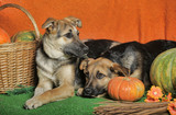 Two dogs with pumpkin. Grass, laika. - 236507108