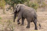 Elefant 69