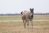 zebra  - 236518739