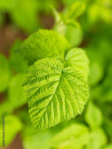 fototapeta na ścianę Beautiful green leaves on raspberries in nature
