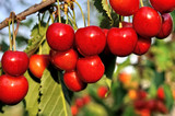 close-up of ripening sweet cherries on a tree in the garden