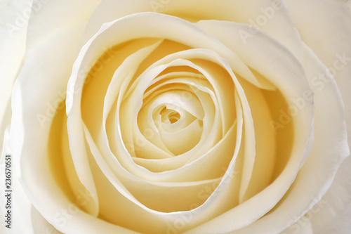 Beautiful soft fresh white rose - 236570551
