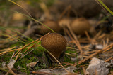 small fungus with prickles