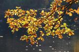 gelb verfärbte Eichenblätter an Ästen - 236610535
