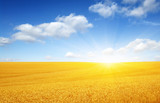 Wheat field and sun - 236631563