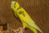 Yellow budgeriga (Melopsittacus undulatus) seating on branch
