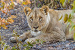 Female lion ( Panthera Leo) laying down, looking in the camera, Ongava Private Game Reserve ( neighbour of Etosha), Namibia.