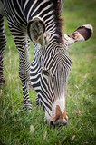 zebra - 236642138