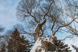 An beautiful old fantastic branchy brown tree with white snow and yellow leaves in a park in autumn against the blue sky with white clouds background