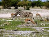 Namibia. Etosha N.P. Zebra with Impala's - 236645184