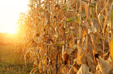 Backlit Maize field at evening sunset time - 236646139