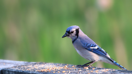Close up shot of Blue Jay bird on the fence © SNEHIT
