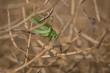 Grashüpfer sitzt auf Getreideähre