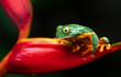 Splendid Leaf frog in Costa Rica