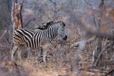 2 Zebras Africa - 236690586