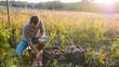 Leinwanddruck Bild - Farmer harvesting and puts sweet potato in box at field of his farm.