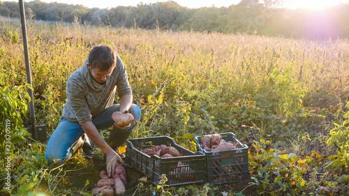 Leinwanddruck Bild Farmer harvesting and puts sweet potato in box at field of his farm.